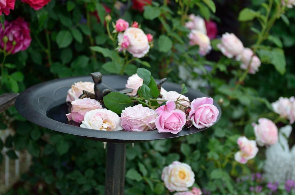 初心者さん必見!バラの花壇の作り方-切ったバラをバードバスに浮かべて-