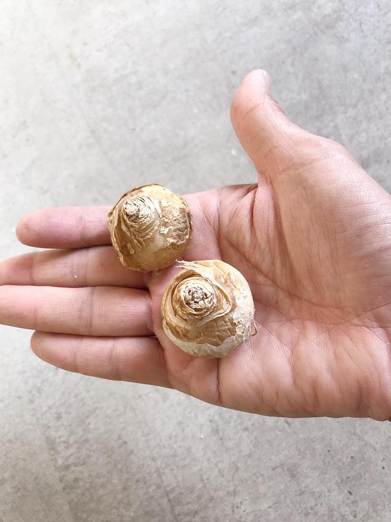オーニソガラム・アラビクムの球根