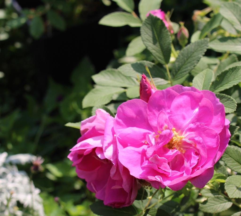 食香バラ 紫枝