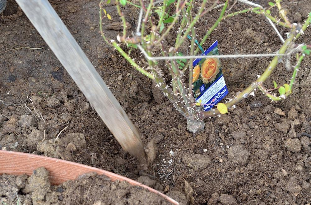 初心者さん必見!バラの花壇の作り方-木立バラを手前に植え付ける-