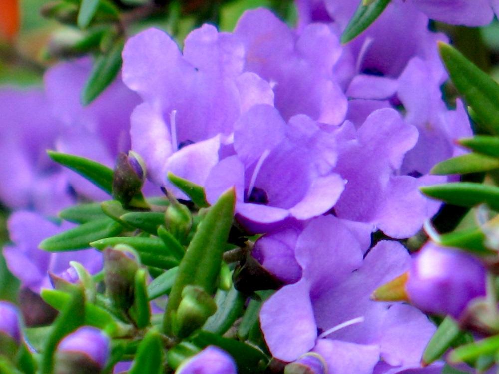 ミントブッシュの花