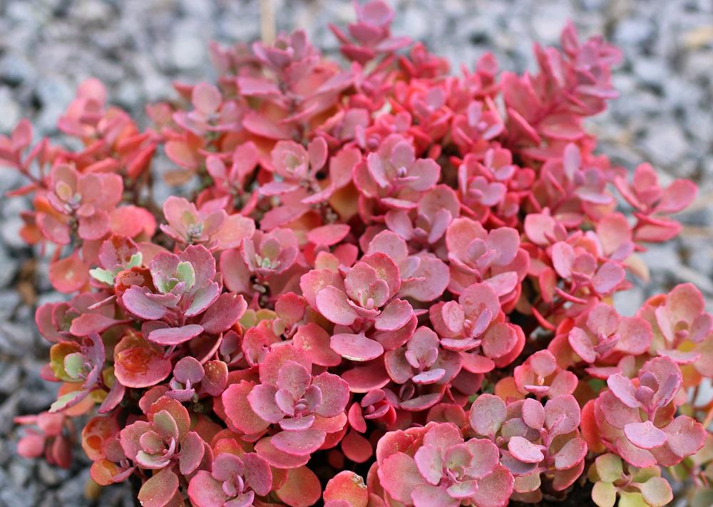 日高ミセバヤの秋の紅葉