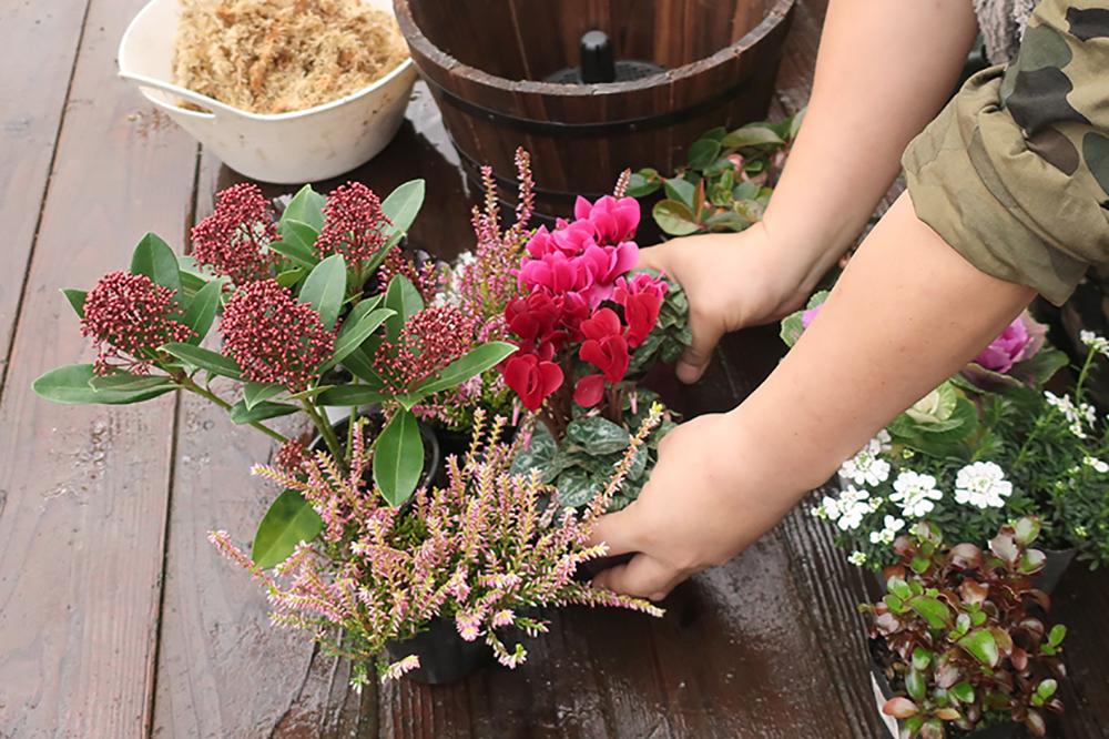 ハボタンとシクラメンの冬の寄せ植え〜step1苗の準備