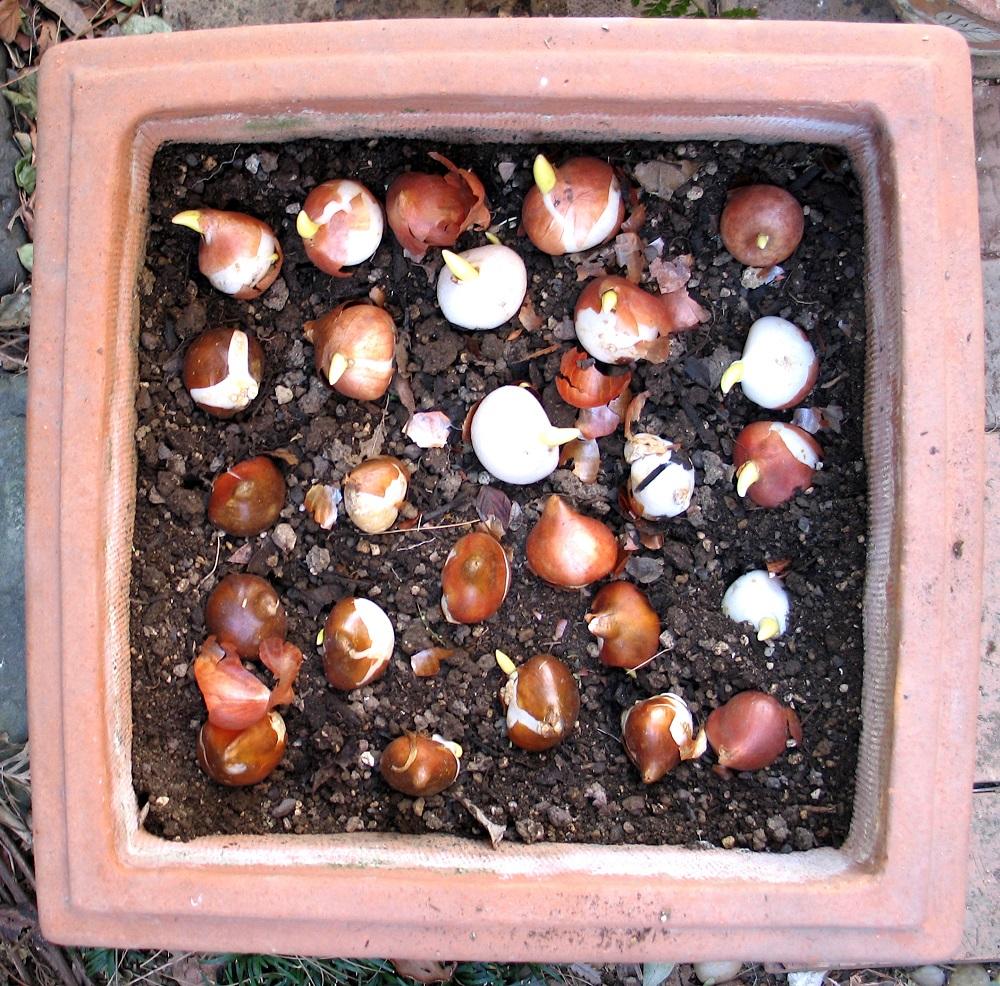 チューリップの植え付け