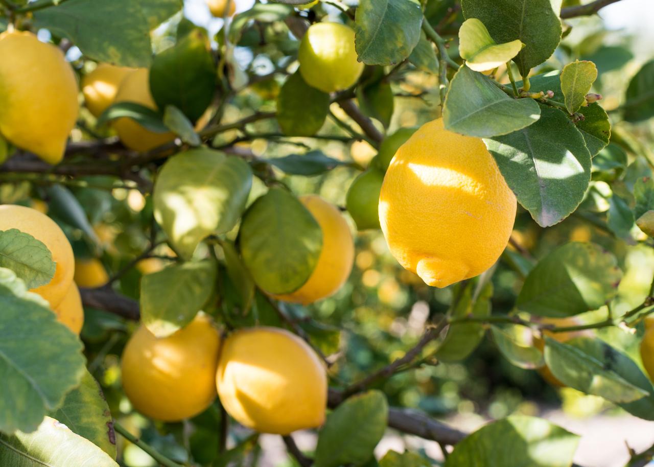 バルコニーのレモンの木