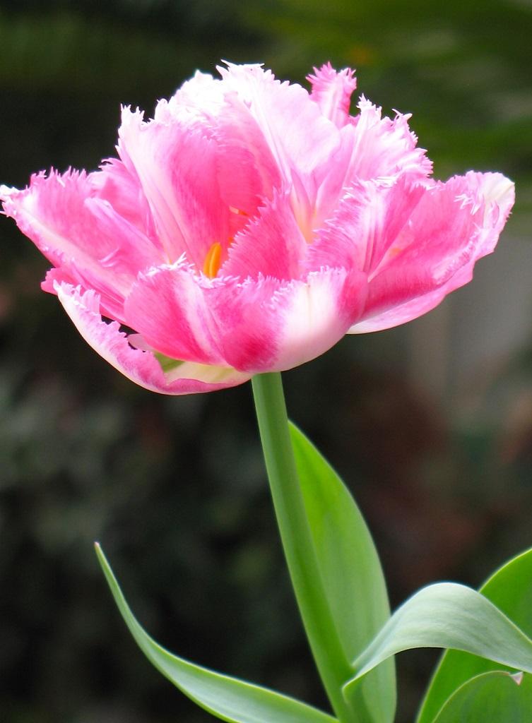 ピンクのフリンジ咲きチューリップ