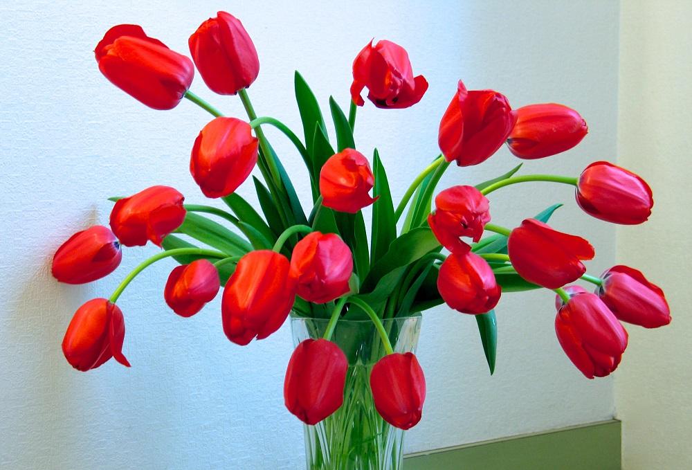 赤いチューリップの切り花