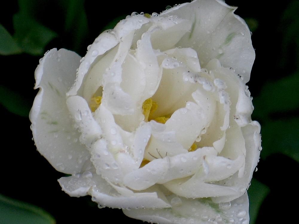 白の八重咲きチューリップ