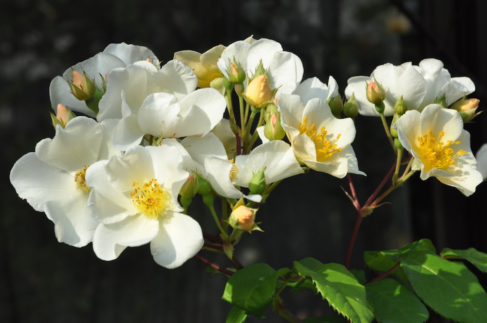ベルギー王妃のバラ'ロザリータ'