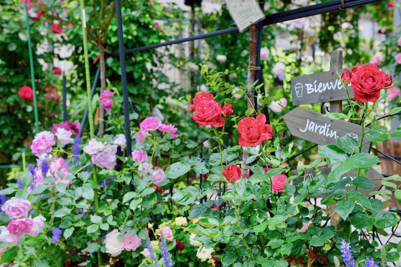 サヘルさんとお母さんが丹精するバラの庭。