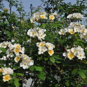 ベランダのバラ ロザリータ