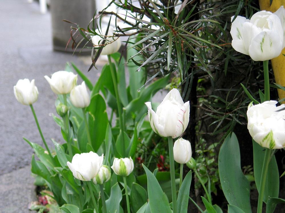 歩道に面した場所に植えた白のチューリップ