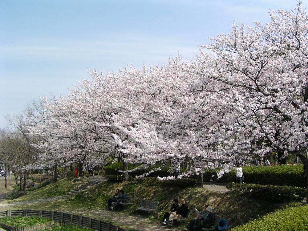 木曽三川公園センターのサクラ