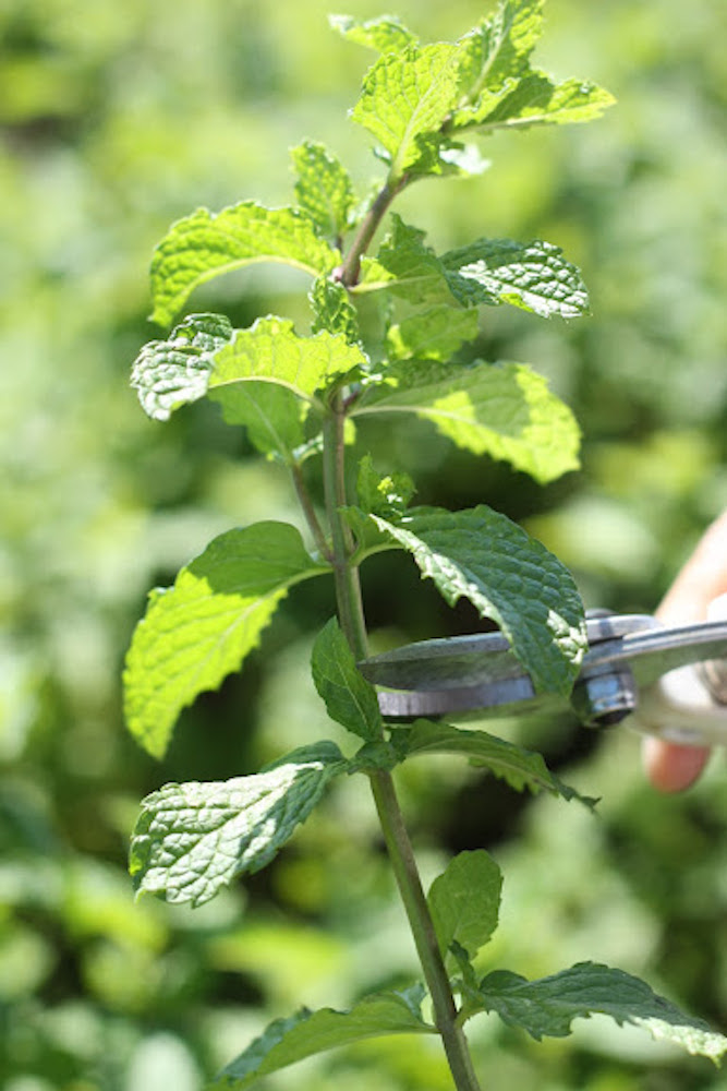 スペアミントの栽培のコツ