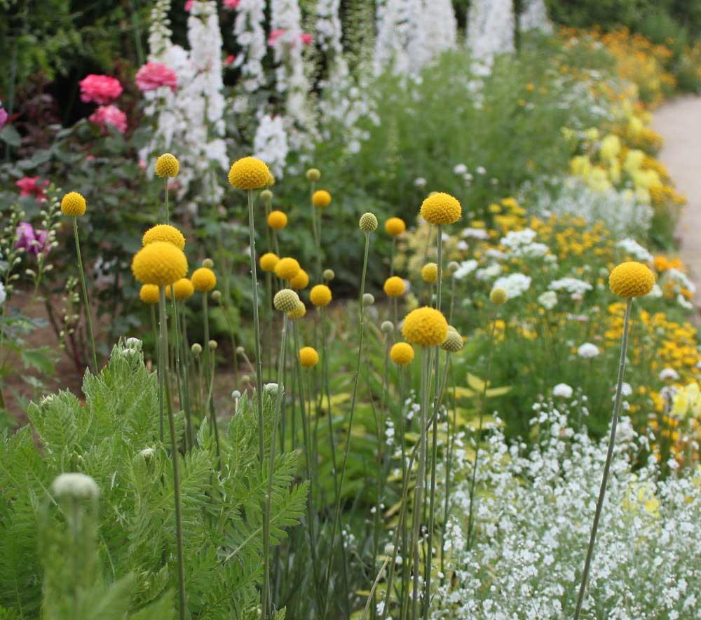 庭に植えたクラスペディア・グロボーサ