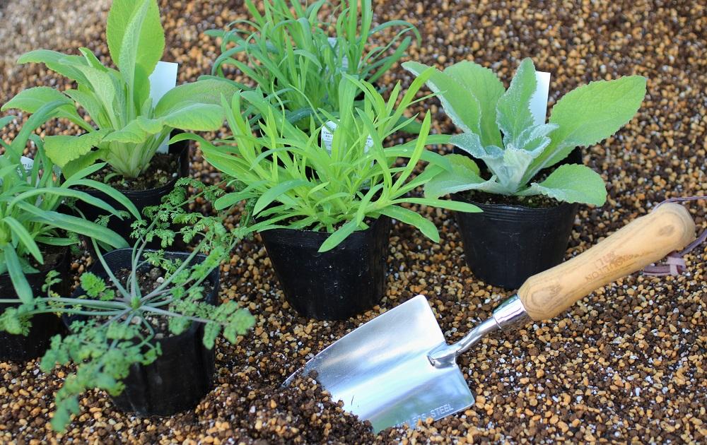 宿根草の苗を植え付ける