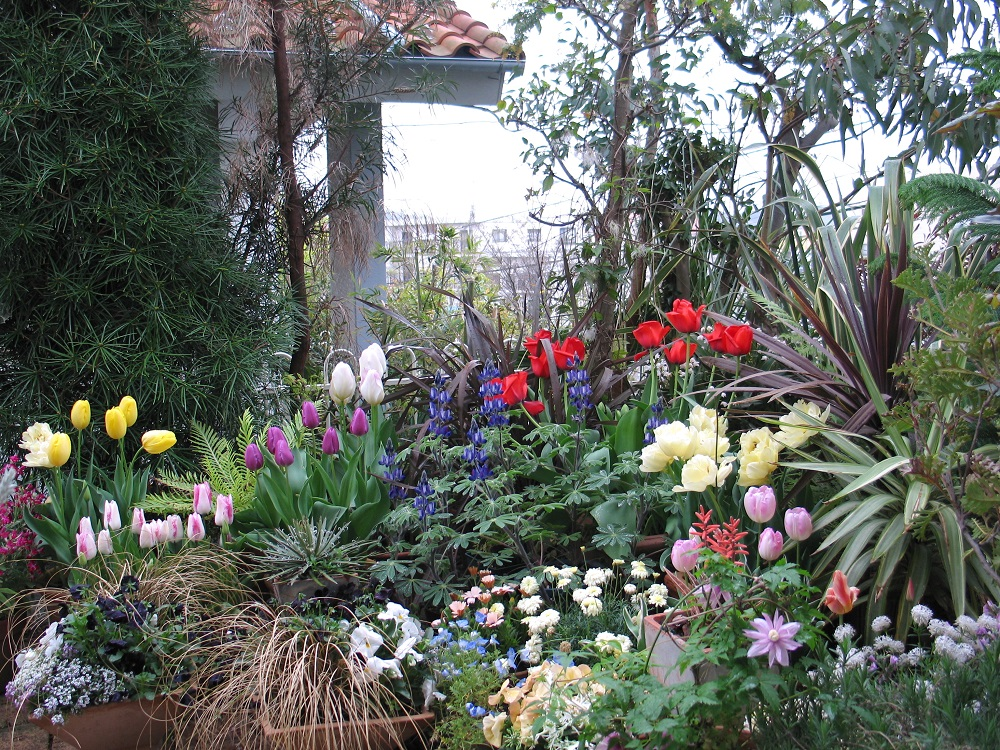 家の庭に咲くチューリップ