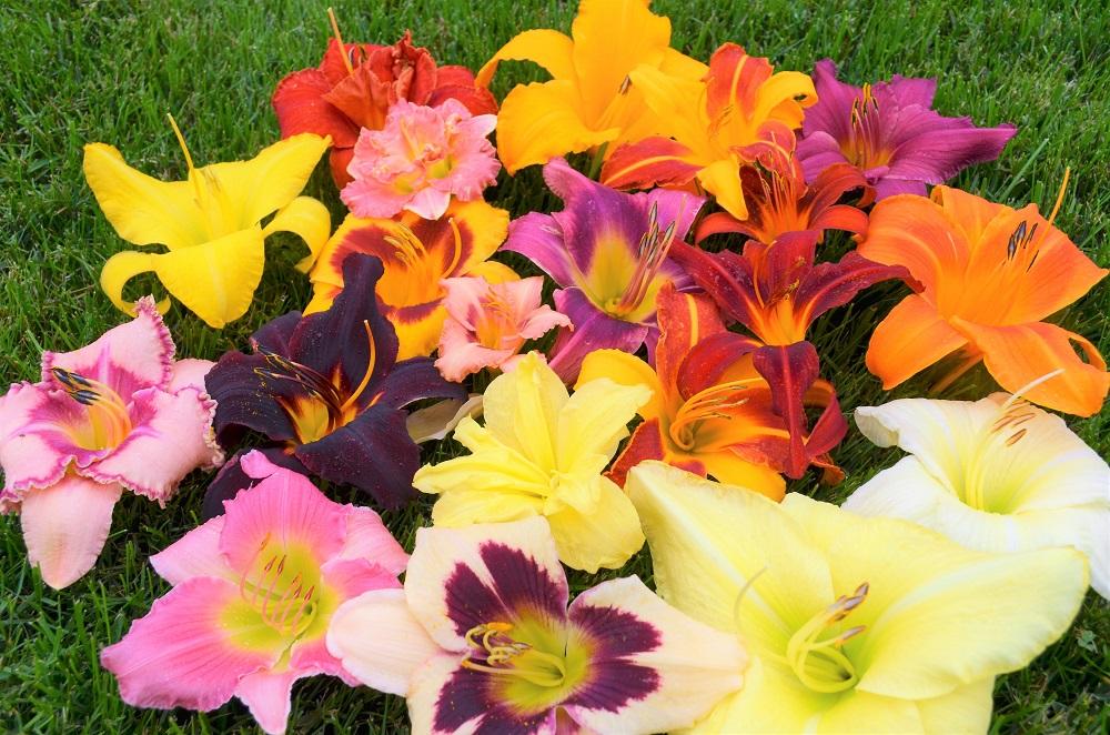 ヘメロカリスの花