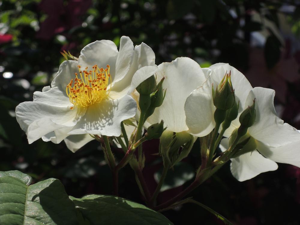 房咲きのロザリータ