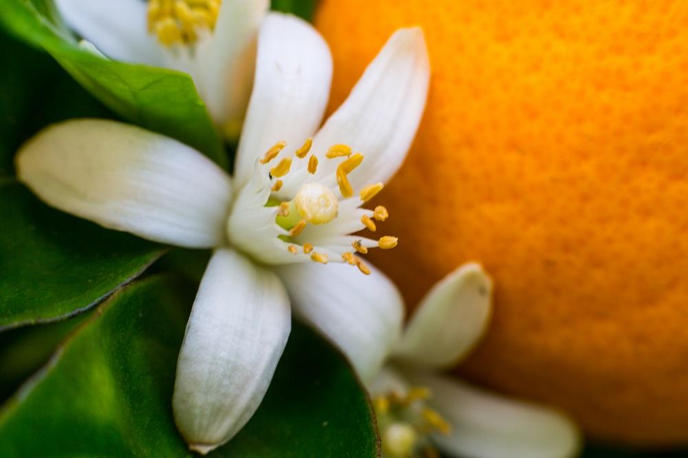 オレンジの花