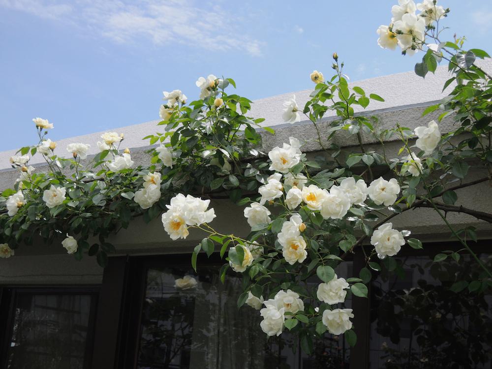 バルコニーで咲く'シティ・オブ・ヨーク'。