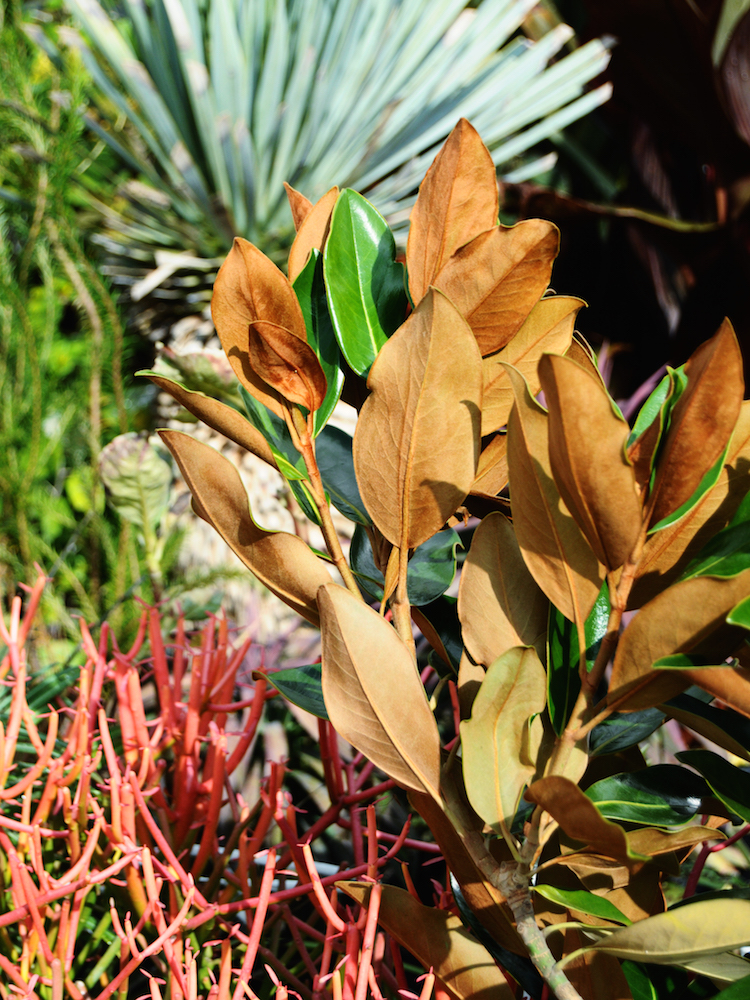 フェルト質感の葉裏と、葉表の照り深緑色とのコントラスト