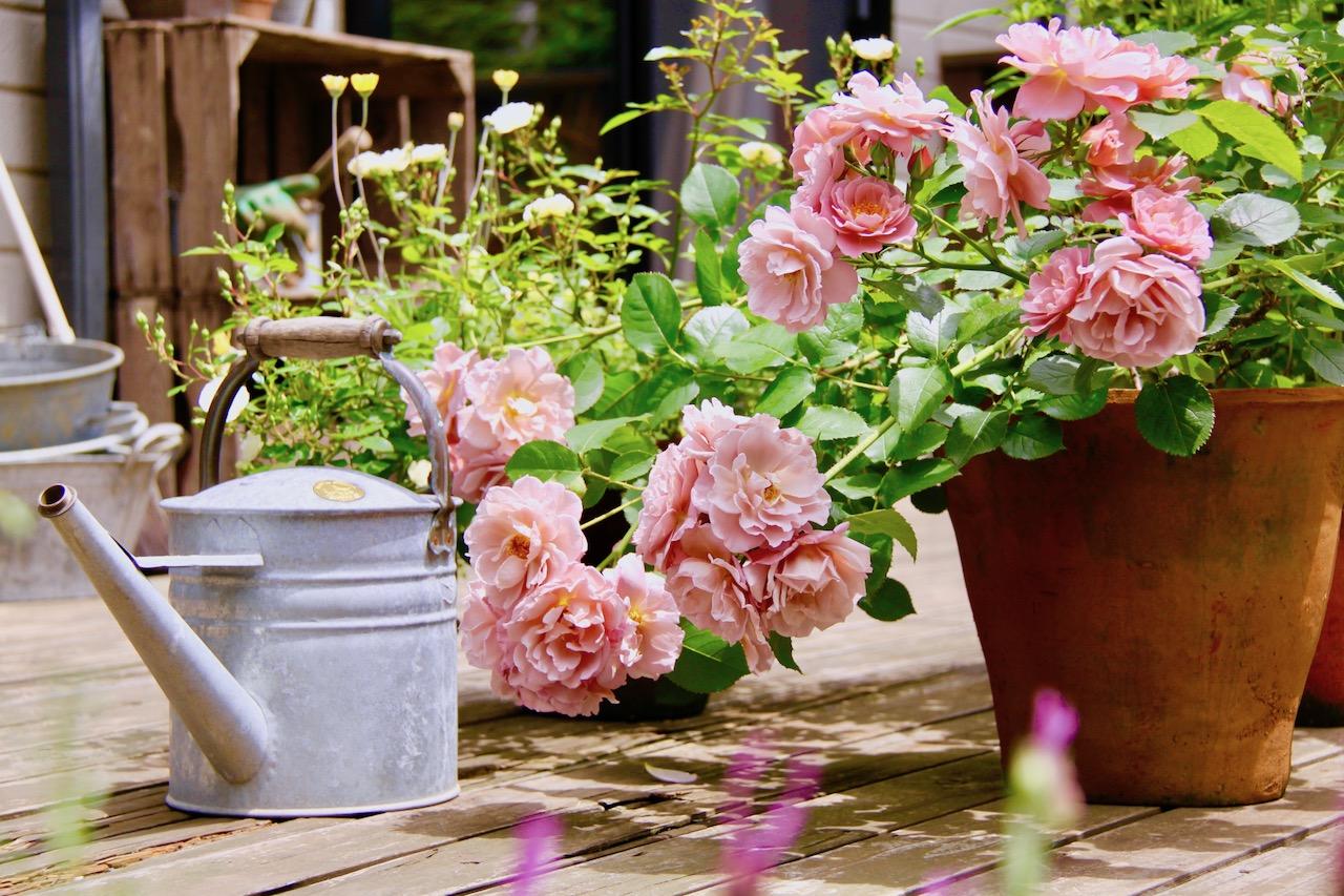 鉢植えでのバラ栽培