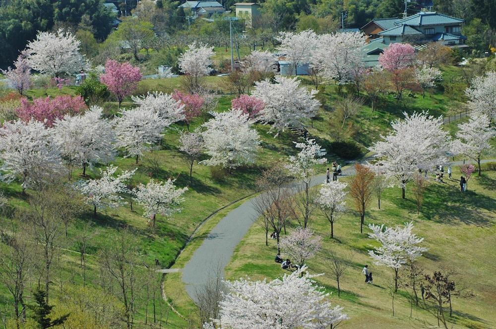 「新潟県立植物園」内の「さくらの山」