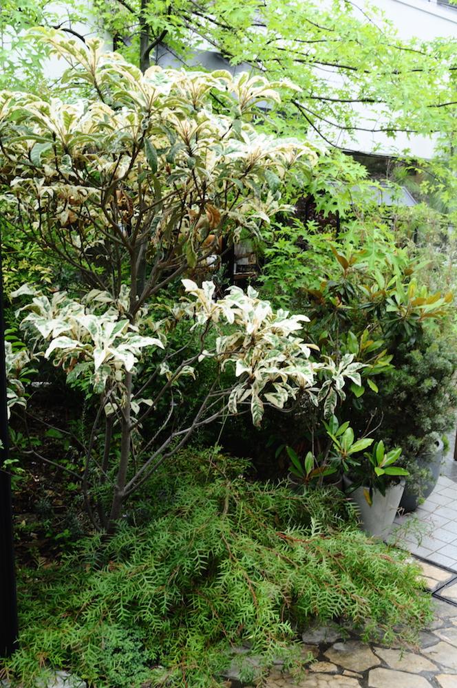 斑入りビワの寄せ植え例