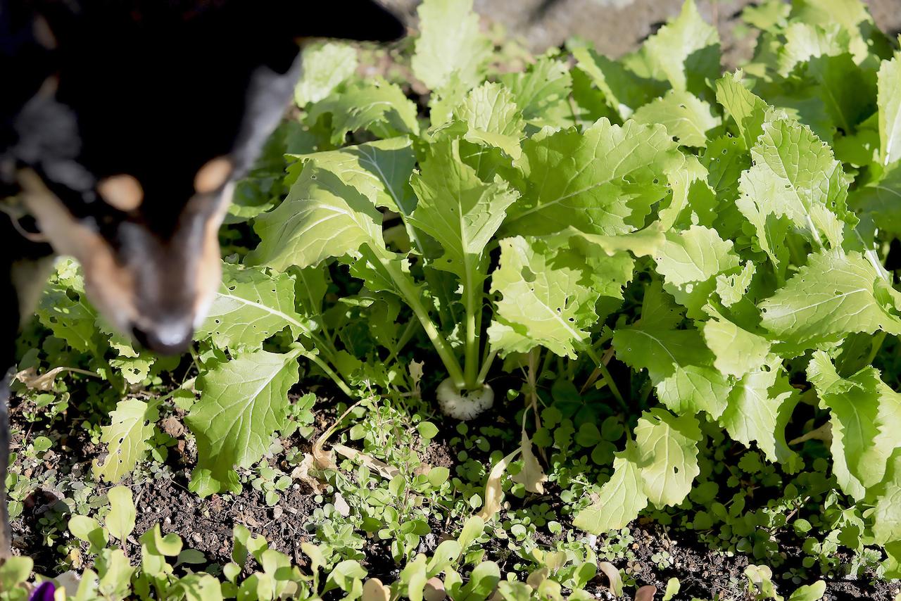 家庭菜園のカブ