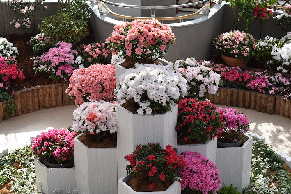 新潟県立植物園のアザレア