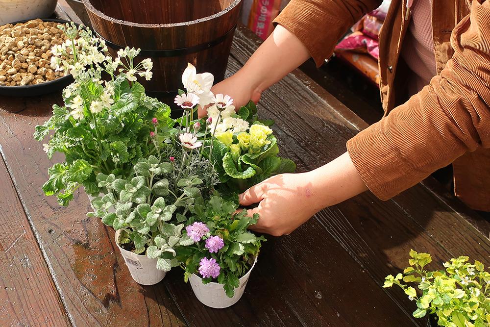 ジュリアンの寄せ植えの作り方-step1苗の準備