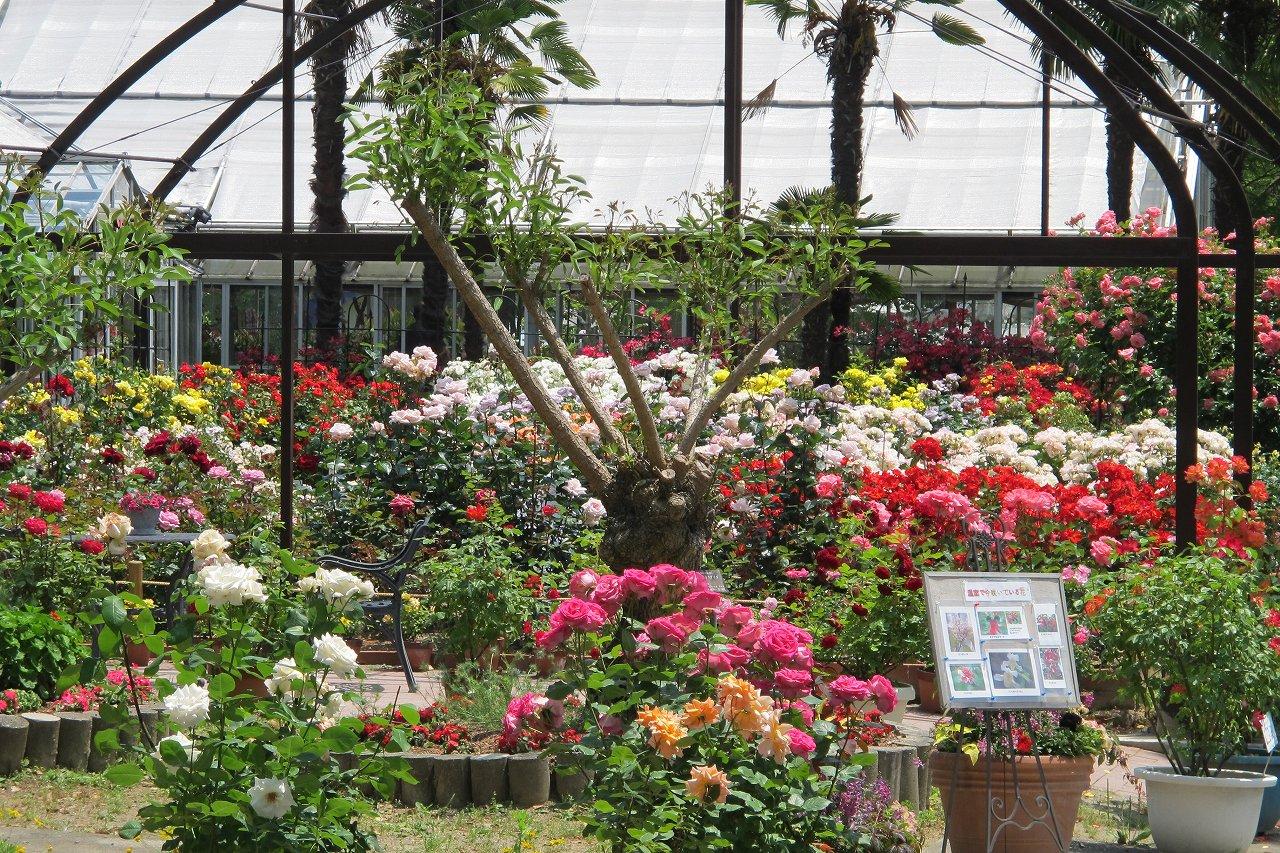 「和歌山県植物公園 緑花センター」のバラ