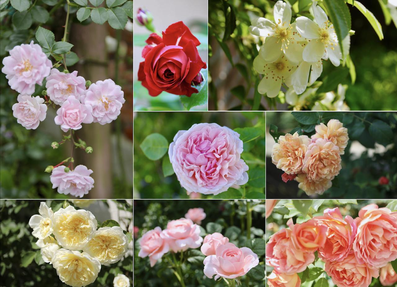 バラの種類