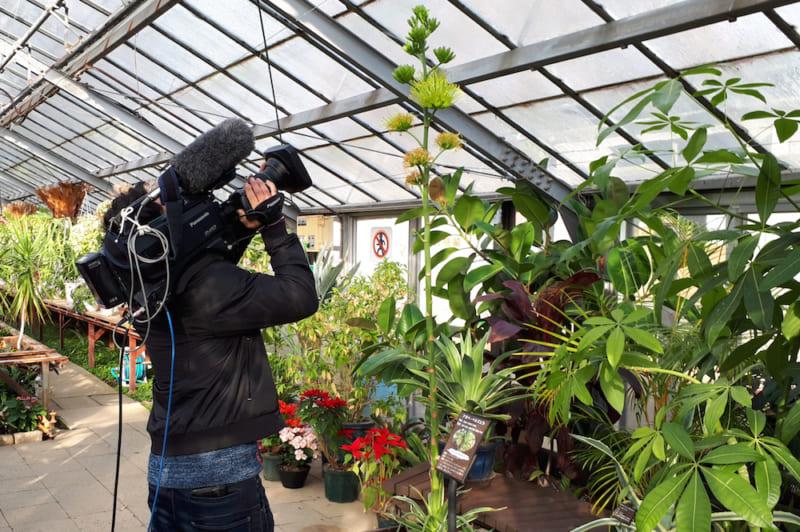 アガベ開花のテレビ撮影風景