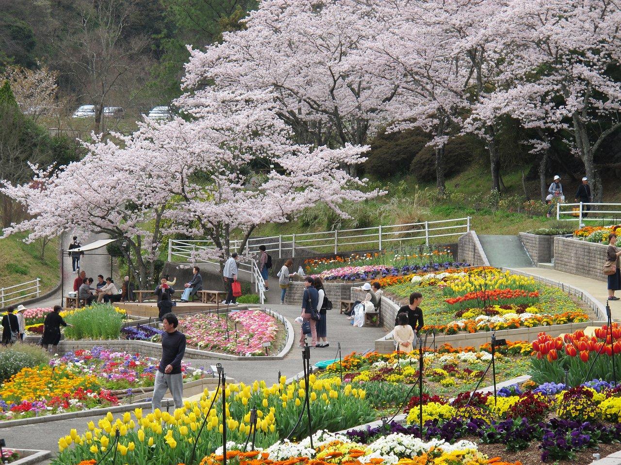 「和歌山県植物公園 緑花センター」のサクラ