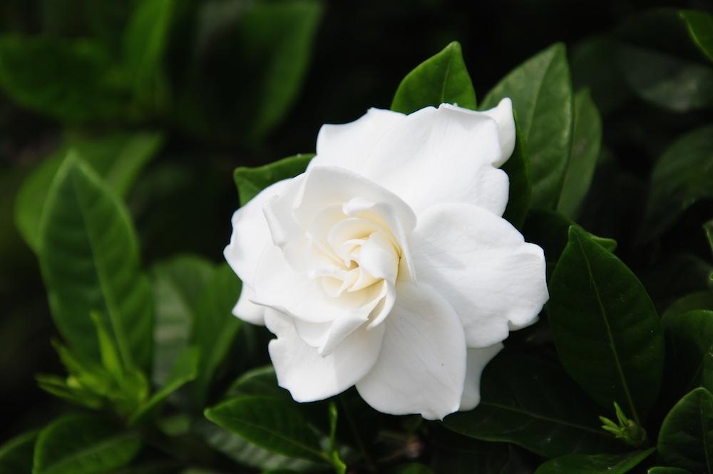 八重クチナシの花