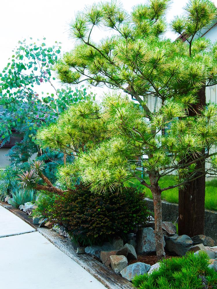 ジャノメマツに、ユーカリやユーフォルビアなどオーナメンタルな洋モノ素材を組み合わせた乙庭の植栽例