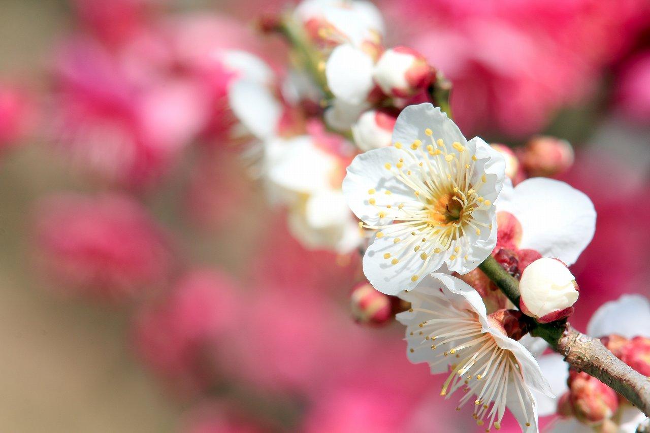 「和歌山県植物公園 緑花センター」の梅園