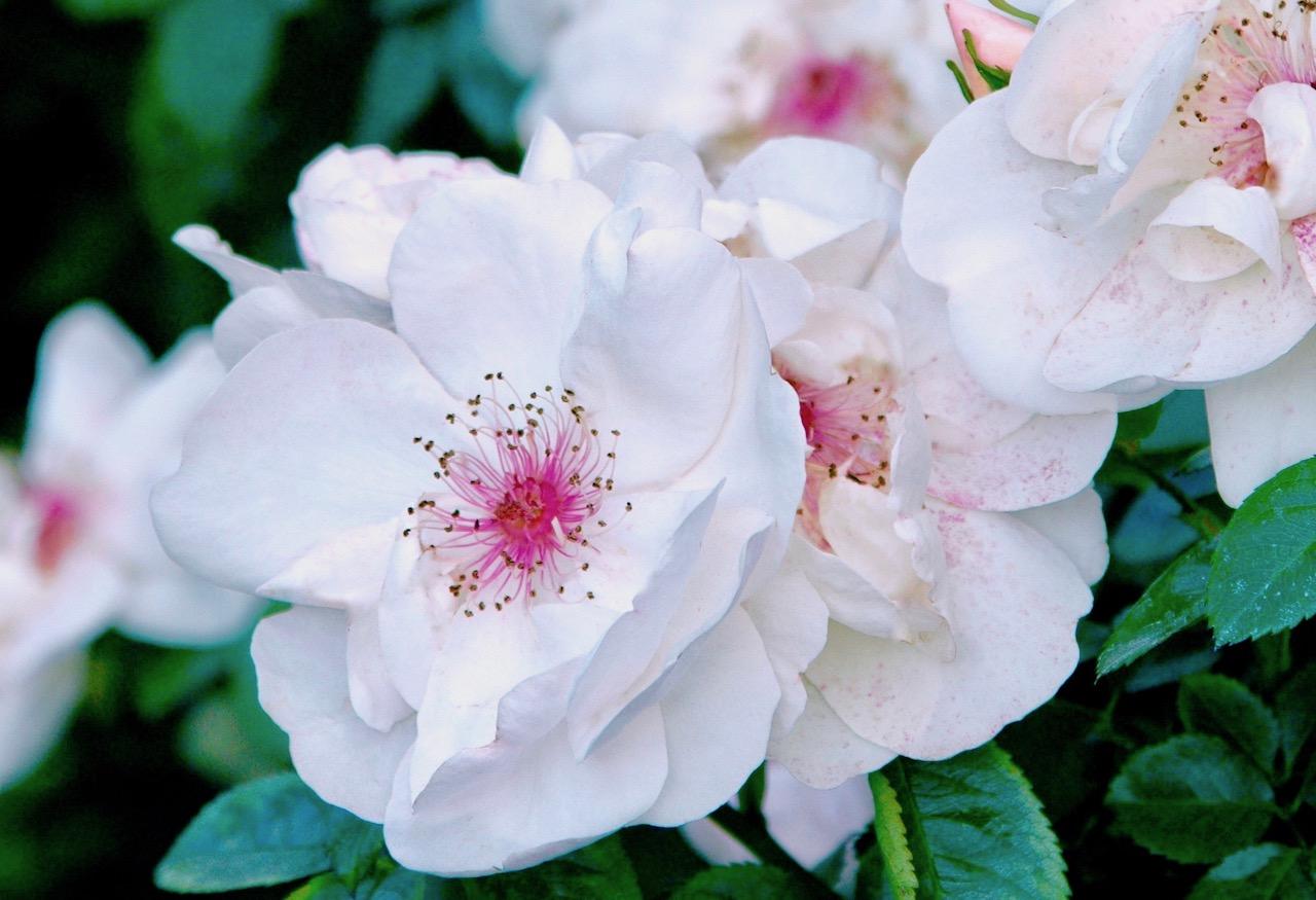 半八重のバラ ジャクリーヌ・デュ・プレ