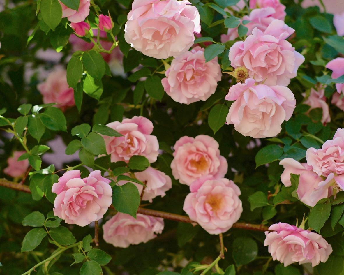 半八重咲きのバラ スパニッシュ・ビューティ