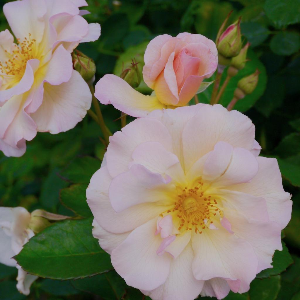 半八重咲きのバラ ペネロペ