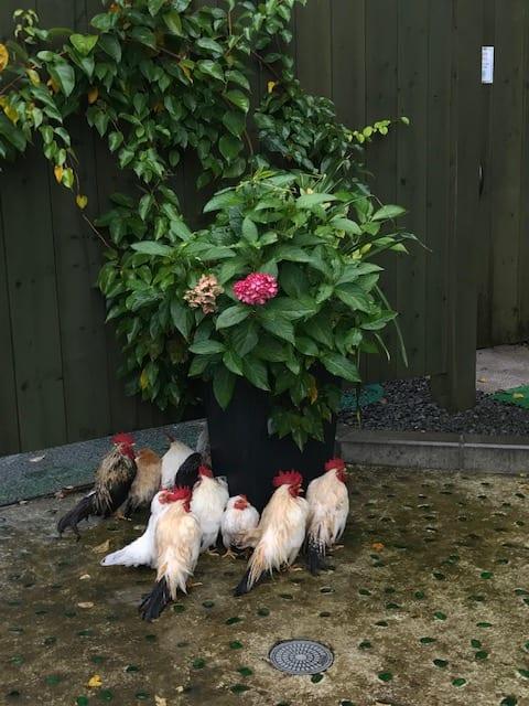 寄せ植えの下で雨宿りをする鶏