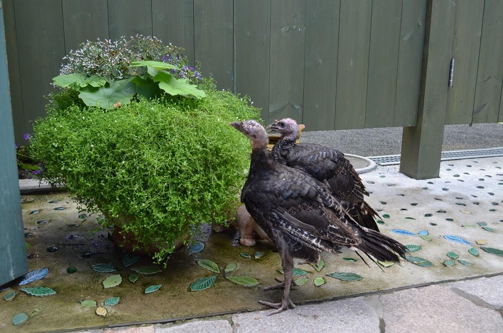 寄せ植えと七面鳥