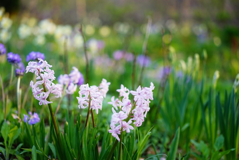 春の球根花