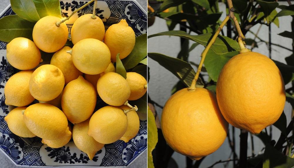 レモンの自家栽培