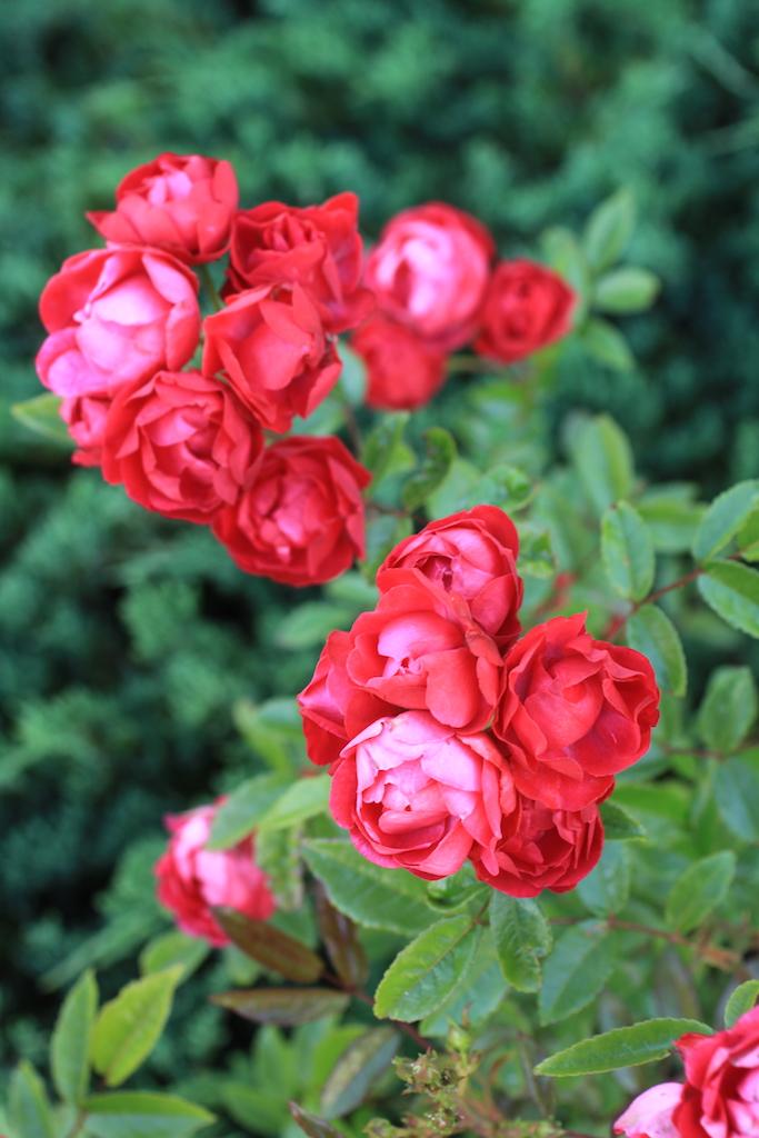 房咲きのバラ