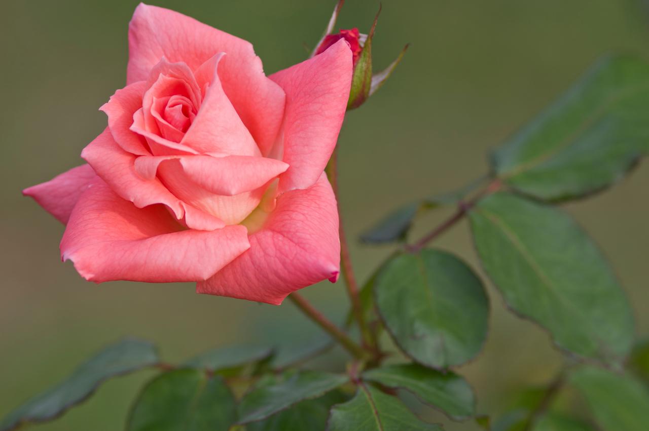 高芯咲きのバラ ソニア