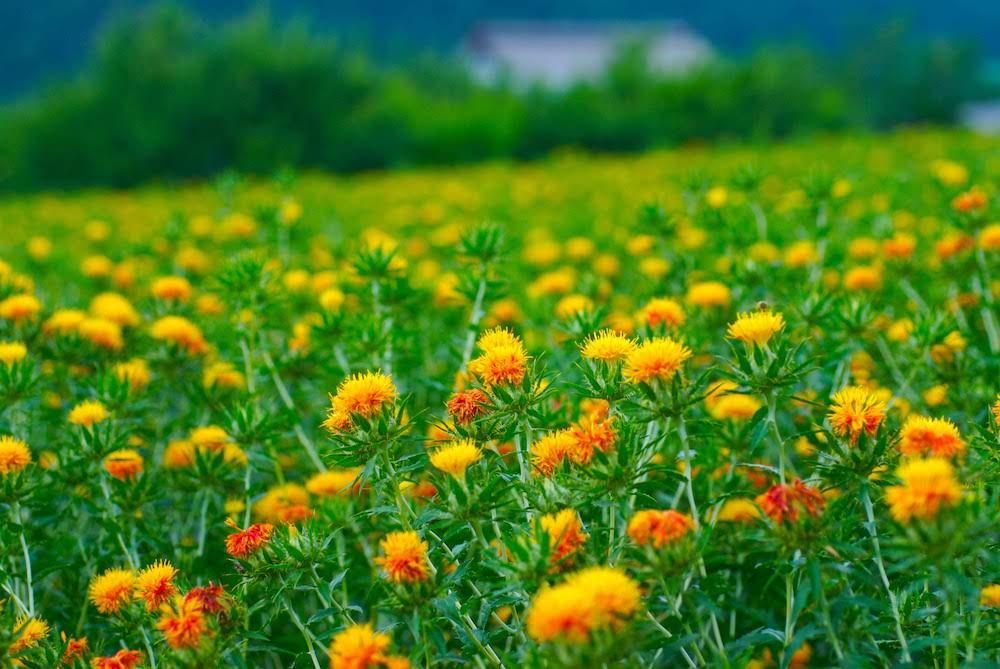 """紅は、黄色の花を咲かせる""""紅花""""の花びらに、たった1%だけ含まれる赤い色素"""