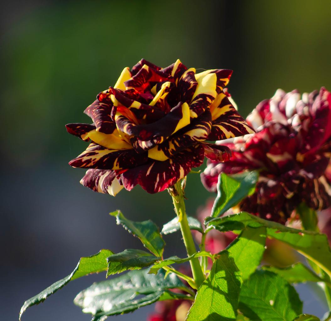 絞りのバラ アブラカダブラ